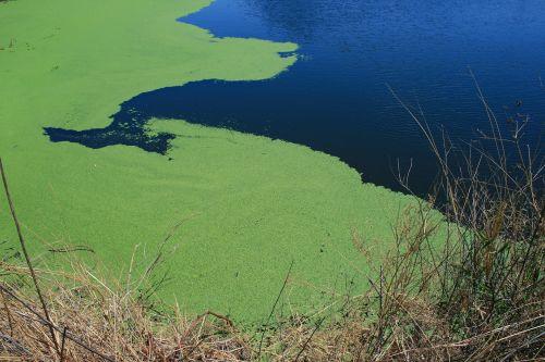 Algae On The Water