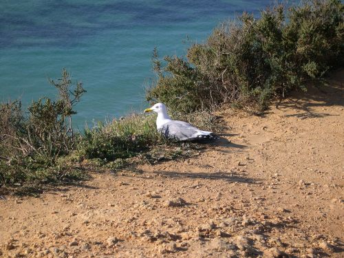 algarve portugal gull