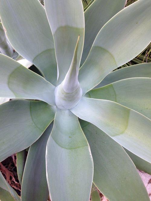 algave plant maquis