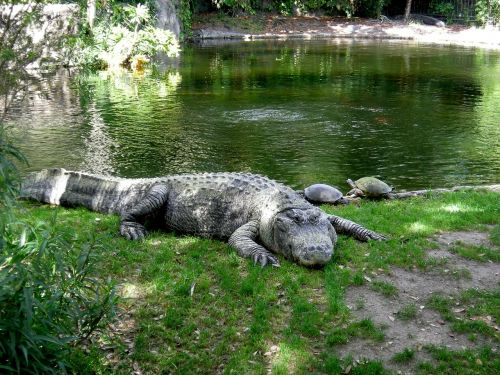aligator busch gardens zoo