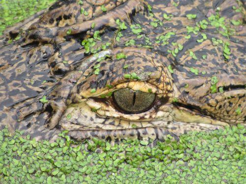 aligator eye basking