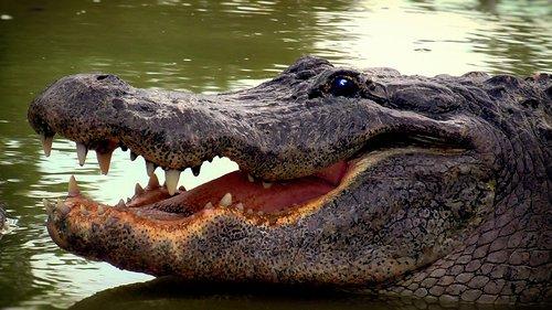 aligator  reptile  crocodile