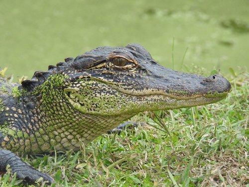 aligator  louisiana  alligator