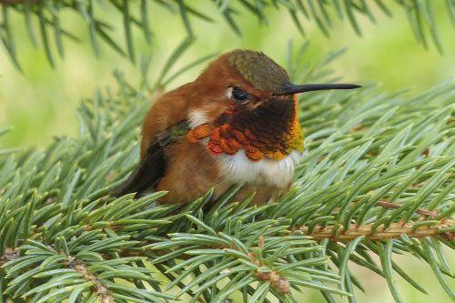allens hummingbird hummingbird colibri