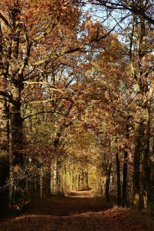 alėja,ąžuolai,kelias,rudens,ruduo,spalvoti lapai,geltonieji lapai,rudens medžiai,rudens lapai,aukso ruduo,rudens spalvos