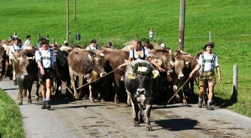 allgäu bavaria cows