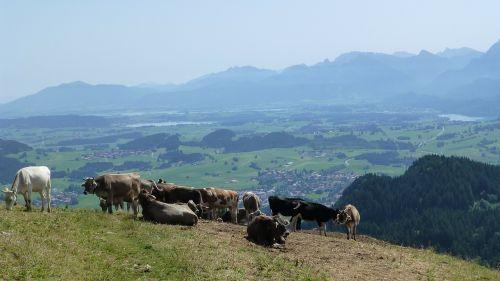 allgäu sun cows