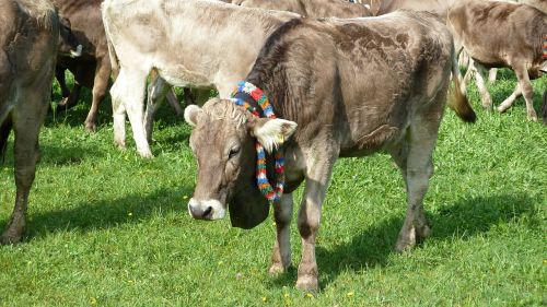 allgäu miss cow