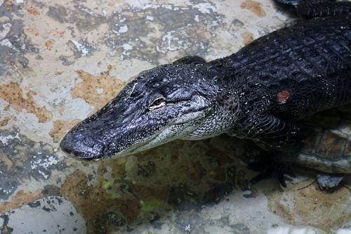 alligator reptile zoo