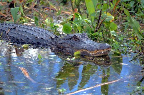 alligator gator wildlife