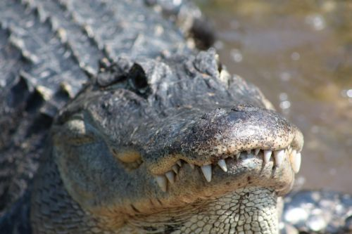 alligator crocodile mississippi