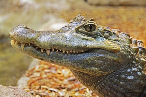 alligator gator teeth