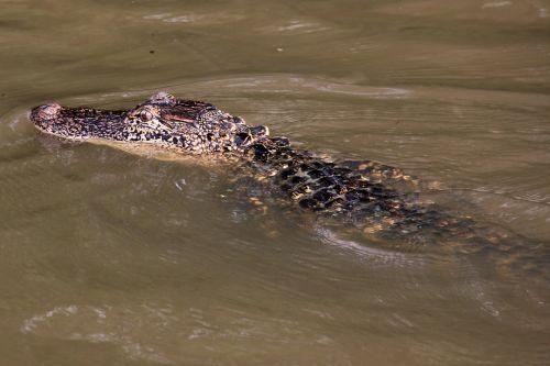 alligator swamp bayou