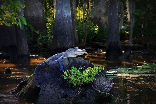alligator gator louisiana