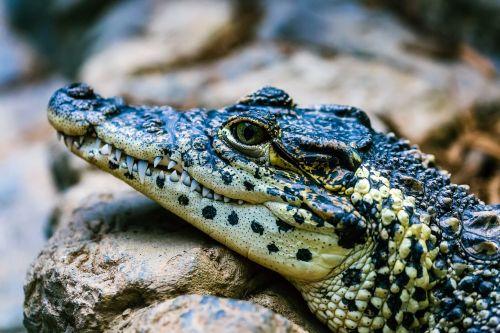 alligator gator reptile