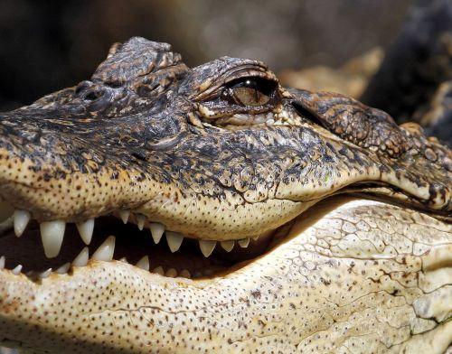 alligator crocodile jaw