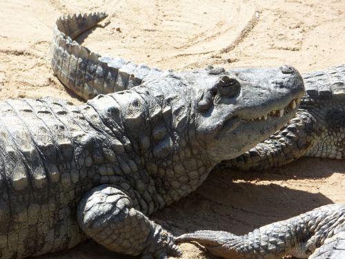 alligator reptile dangerous