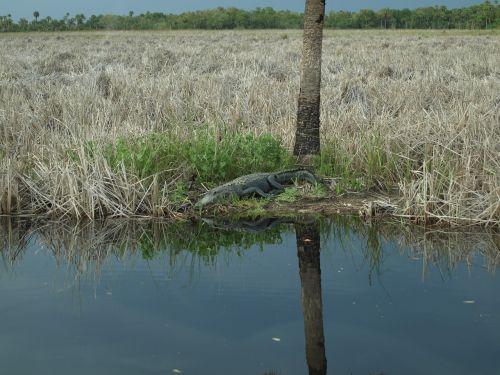 alligator everglades crocodile