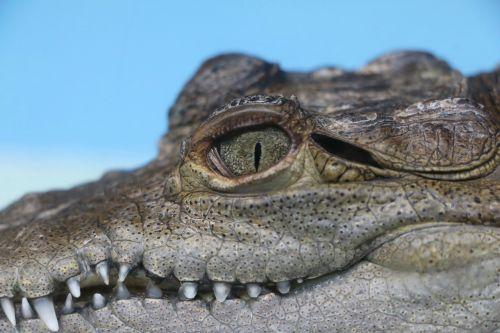 alligator juvenile reptile