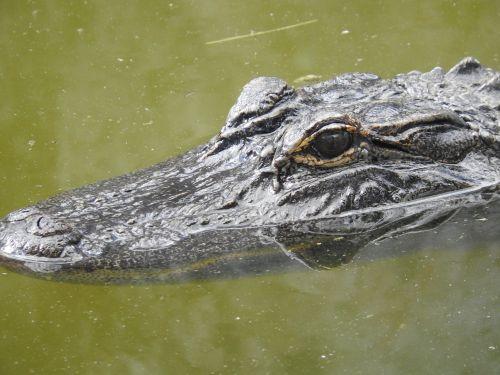 alligator florida nature