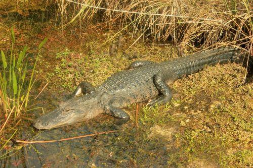 alligator reptiles american