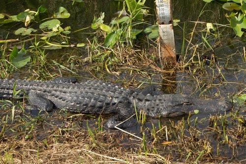 alligator  everglades  reptile