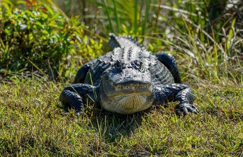 alligator  bank  shore