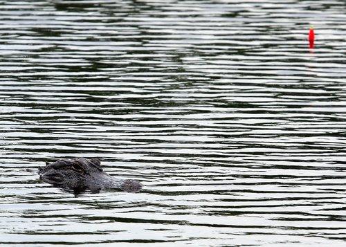 alligator  fish  nature