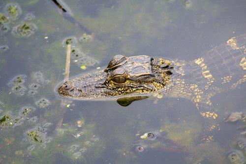 alligator  gator  baby