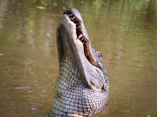 alligator american alligator gator