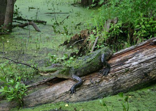 alligator swamp wildlife