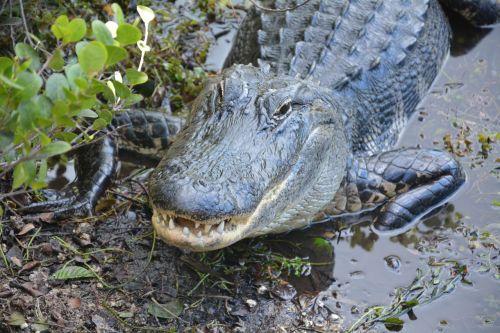 alligator crocodile dangerous