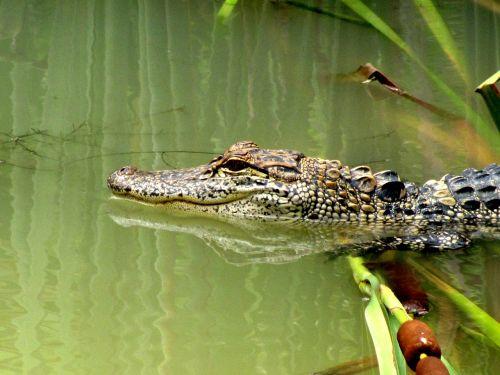 alligator gator animal