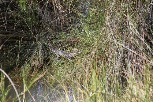 alligator swamp reptile