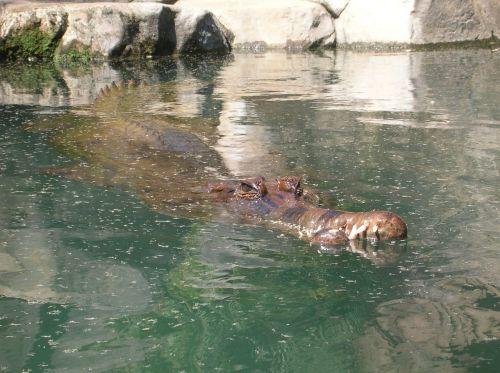 alligator crocodile gator