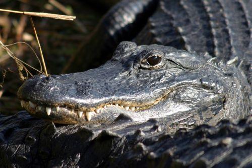 alligator head teeth