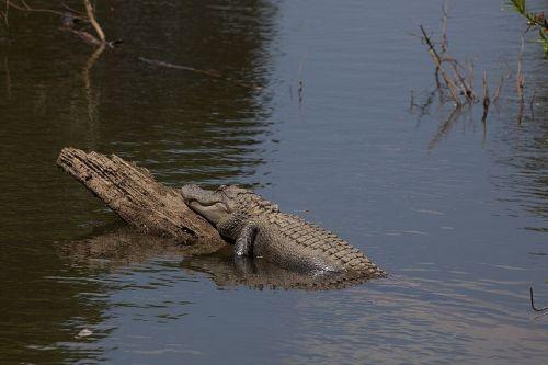 alligator log water