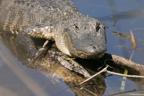 alligator water sunning