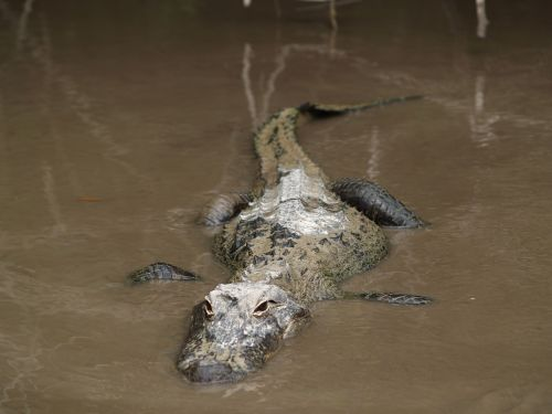 alligator gator florida
