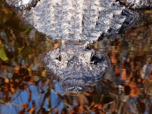 Alligator Watching