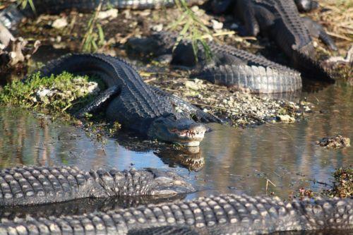 alligators bank shore