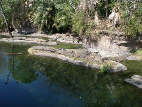 alligators florida reptile