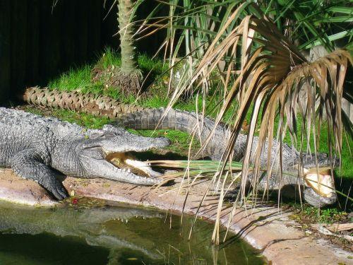alligators reptile danger