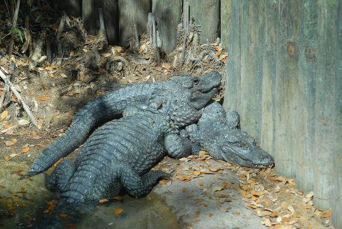 alligators crocodile reptile