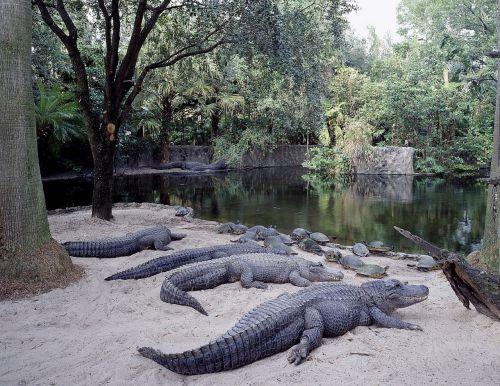 alligators sunning resting