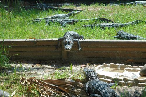 Alligators Resting