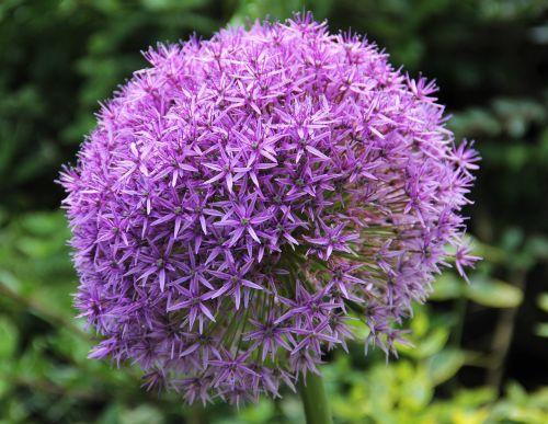 allium alliumblueten purple
