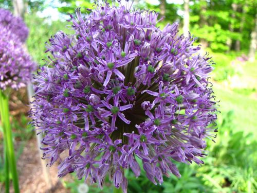 allium flower blossom