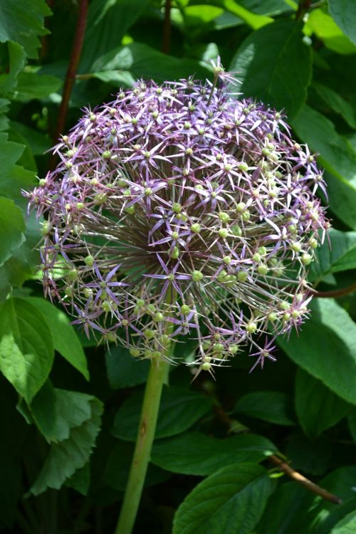 allium seedhead flower