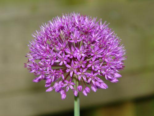 allium ui ornamental onion